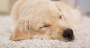 How Much Do Golden Retrievers Sleep?