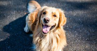 Golden Retriever spay recovery