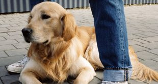 Can Golden Retrievers Be Guard Dogs?