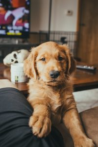 why do Golden Retrievers put their paw on you