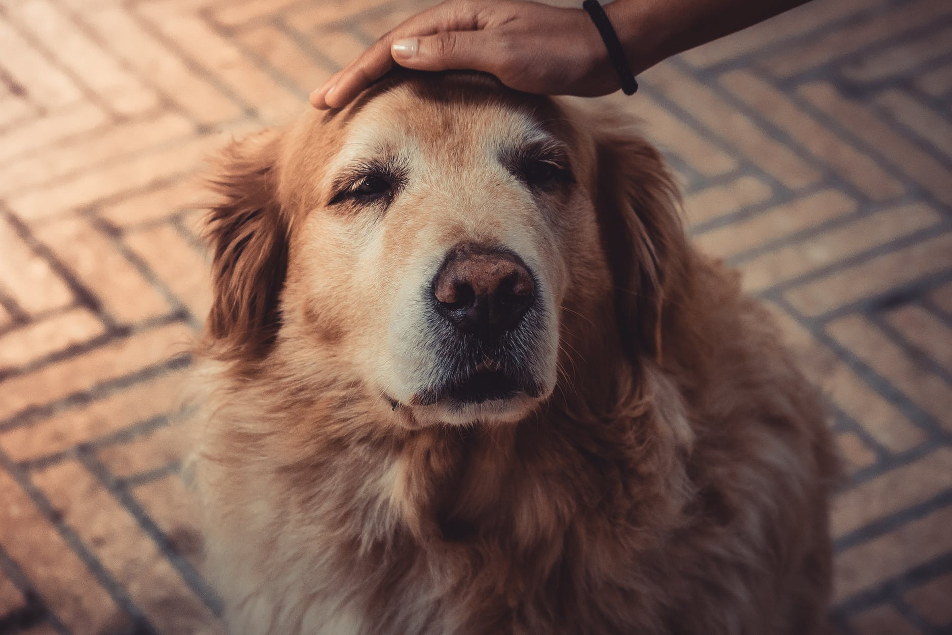 Spaying Golden Retrievers and Cancer