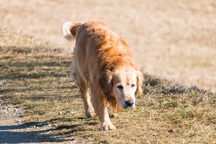 at what age is a golden retriever full grown