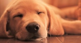 taking care of a golden retriever puppy