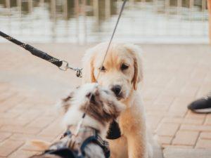 Best Leash for Golden Retriever Puppy
