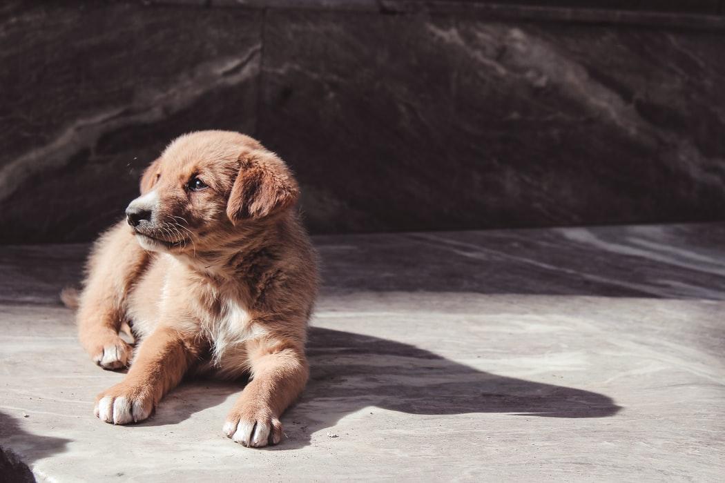 best puppy treats for golden retrievers