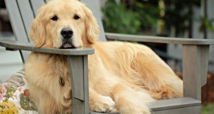 best vitamins for Golden Retrievers