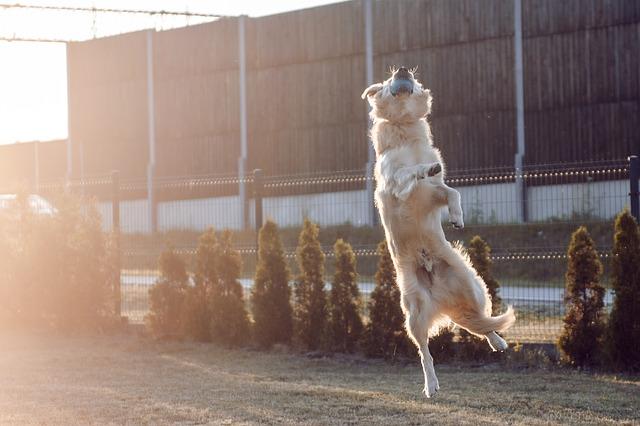 how to teach a golden retriever to fetch