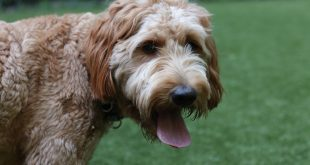 best training treats for Goldendoodle puppies
