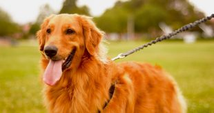 best leashes for Golden Retrievers