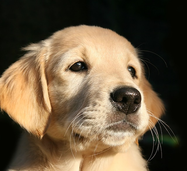Golden Retriever puppy crying in crate