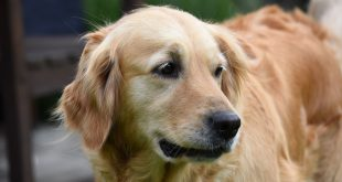 why is my Golden Retriever's hair thinning