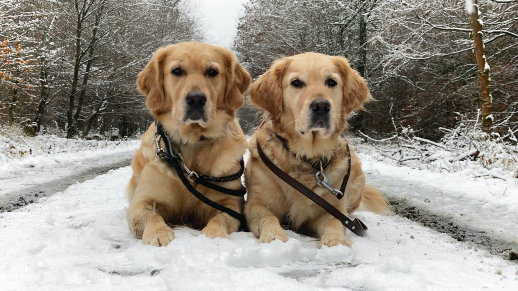 are Golden Retrievers good with other dogs