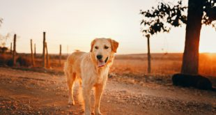 can golden retrievers live outside