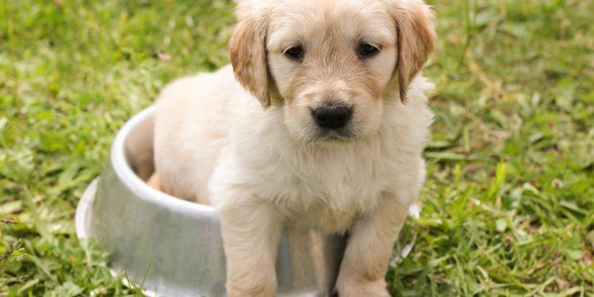 how much water should a golden retriever puppy drink