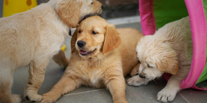 things to know before getting a Golden Retriever