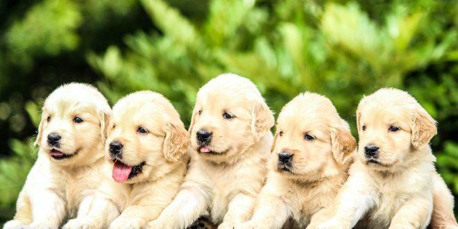 best Golden Retriever breeders in Ohio