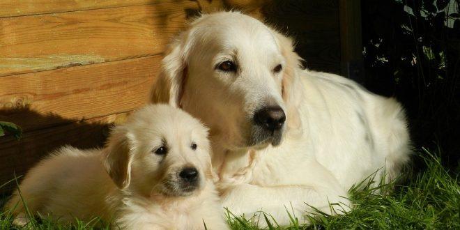 best Golden Retriever breeders Midwest