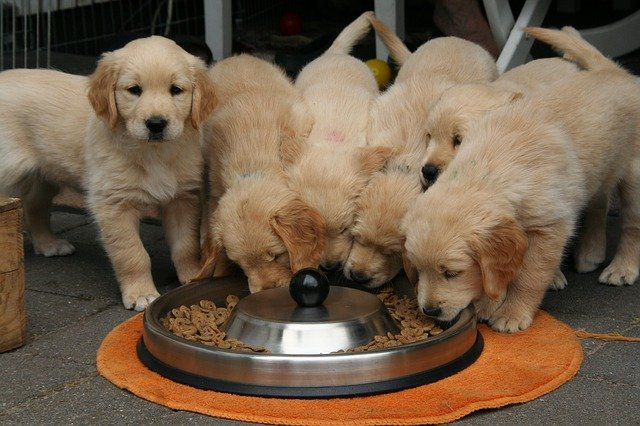 how much does a Golden Retriever cost per month