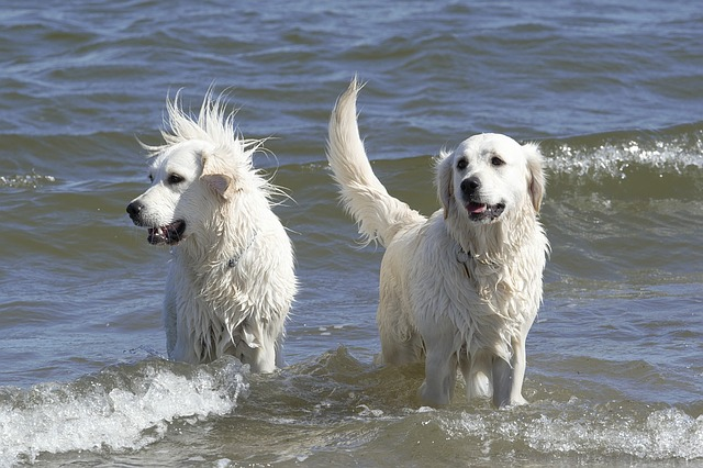 are male or female Golden Retrievers more affectionate
