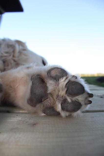 Golden Retriever licking paws