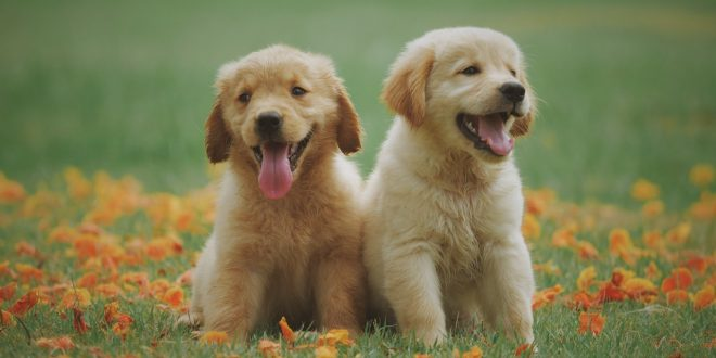 things to buy for Golden Retriever puppy
