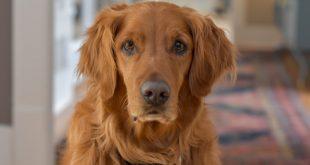 are golden retriever good apartment dogs