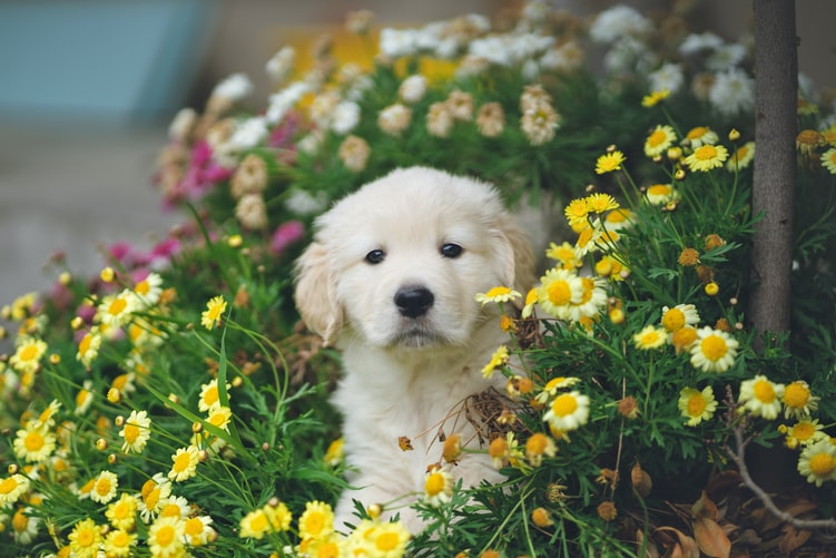 golden retriever puppy exercise limits