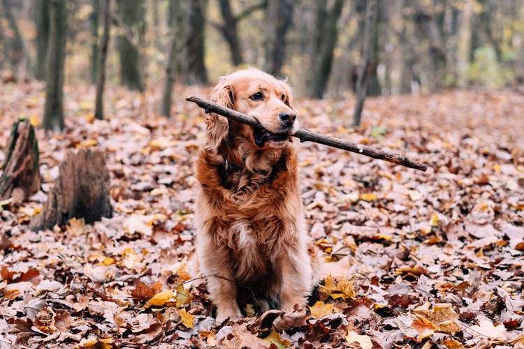 why are golden retrievers so happy
