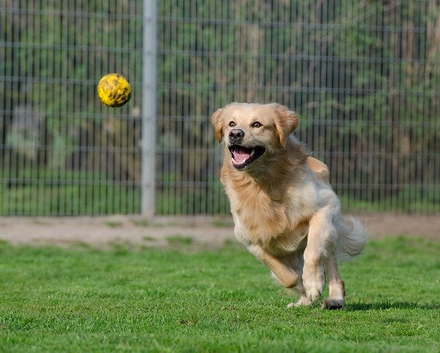 obedience trained Golden Retriever